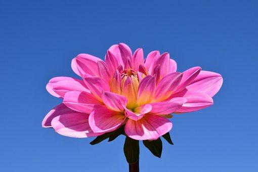Dahlia, Blossom, Bloom, Flower, Pink