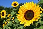 słonecznik, pole słonecznika, żółty