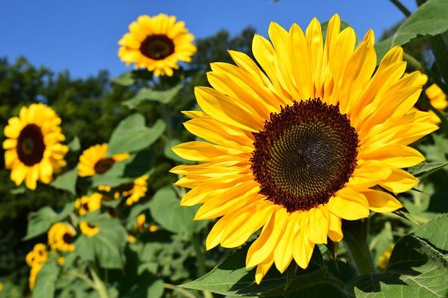 ヒマワリ, ひまわり畑, 黄色, 夏, 花, 自然, ブルーム, 工場, フィールド, 色