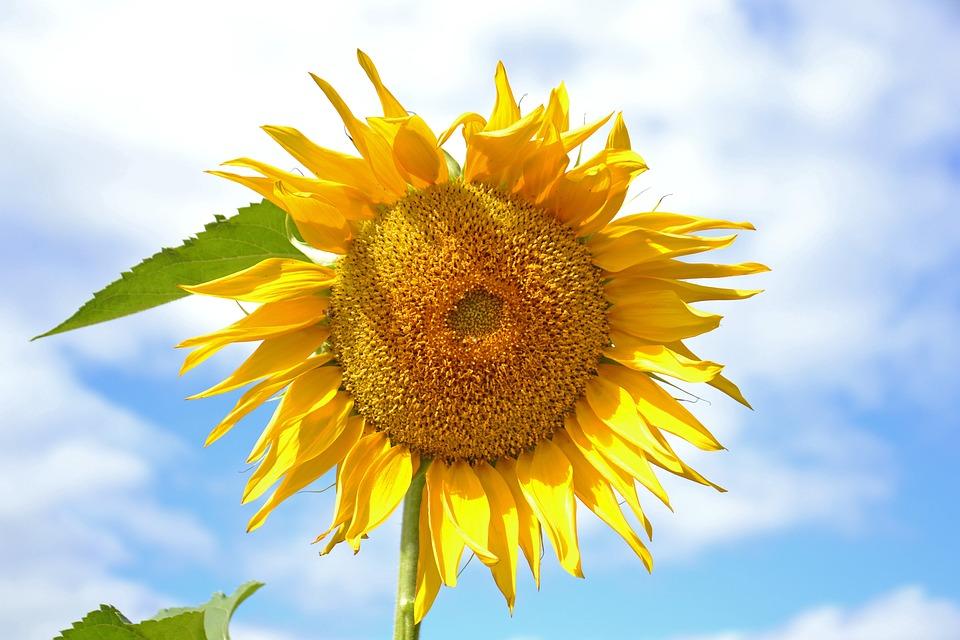 ひまわり, 工場, 黄色, 日当たりの良い, ダーチャ, 自然, リビング ・ ネイチャー, 太陽, シャギー