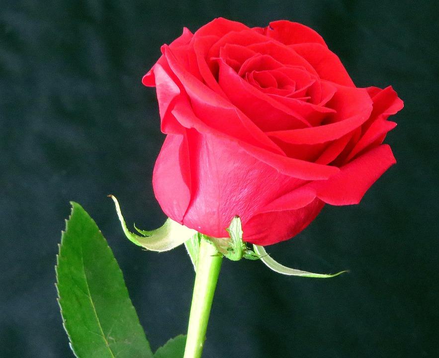 Красная роза цветок