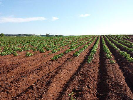 Potato, Field, Crops, Farm, Soil, Summer