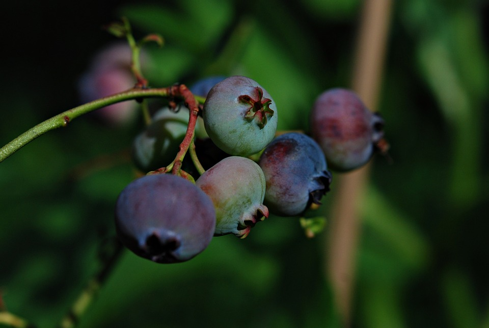 Garden, Fruit, Bilberry American, Jagoda