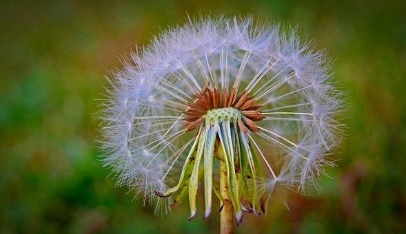 Pusteblume, Flugsamen, Löwenzahn, Blume