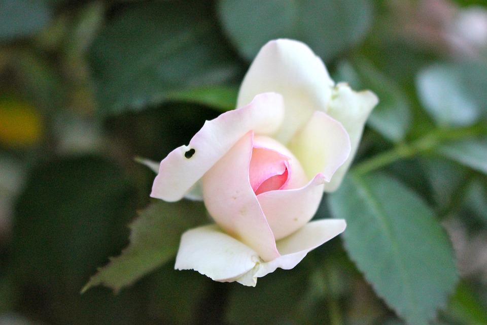 Rose Ancienne Bouton Qui Photo Gratuite Sur Pixabay