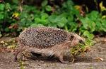 hedgehog, hard working, build