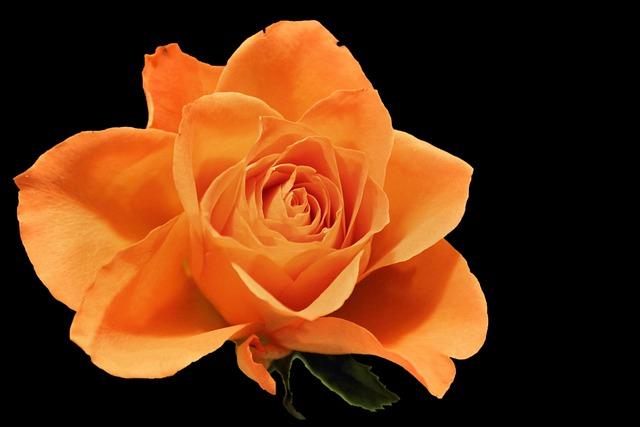 Rose Blossom Bloom 183 Free Photo On Pixabay