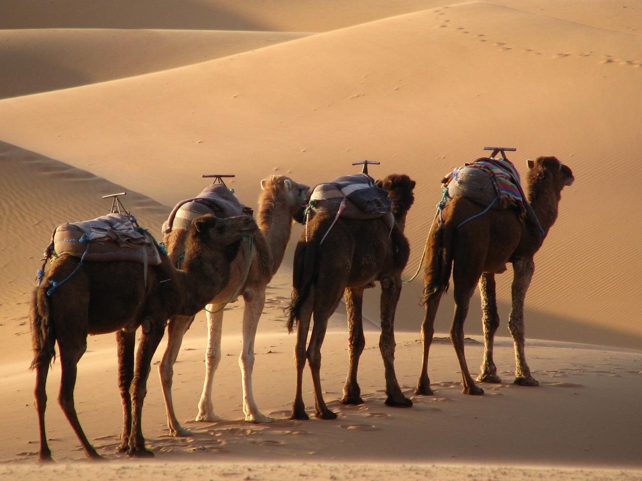 угрюмого картинка верблюды корабли пустыни целесообразности включения