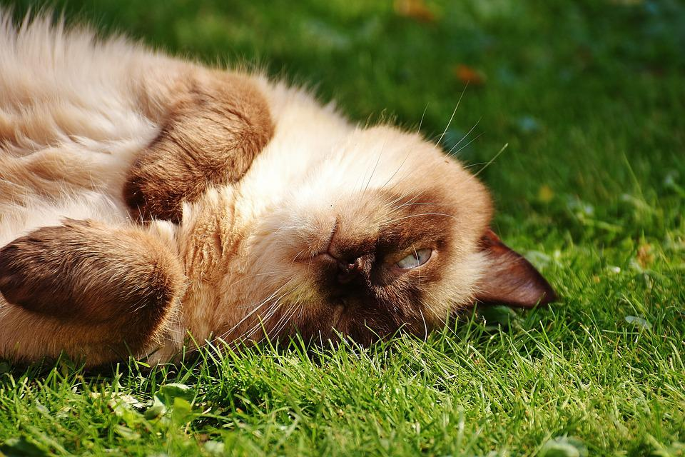 hnedá mačička obrázky