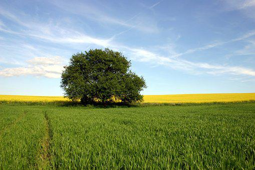 Field, Agriculture, Rape, Wheat, Tree
