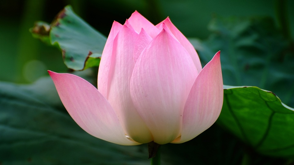 free photo lotus, flower, pink  free image on pixabay, Beautiful flower