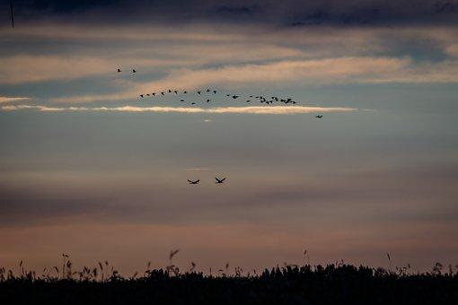 Vögel, Kraniche, Natur, Fliegen