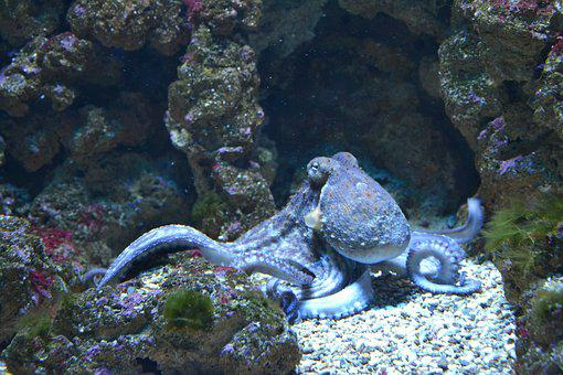 Octopus images pixabay download free pictures for Octopus fish tank