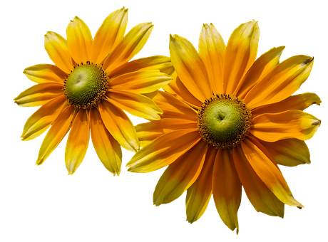 sun flower free illustrations on pixabay. Black Bedroom Furniture Sets. Home Design Ideas