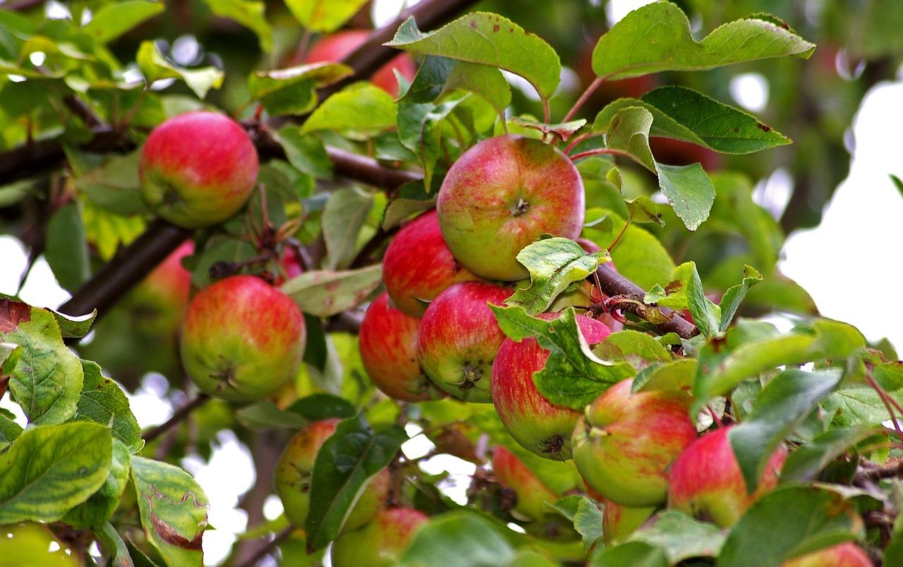 Картинки с яблоней и яблоками, мая