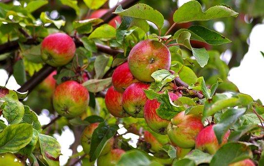 Apples, Apple Tree, Harvest, Pome Fruit