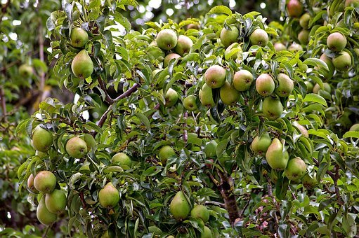 Pears, Pear, Harvest, Pome Fruit, Fruit