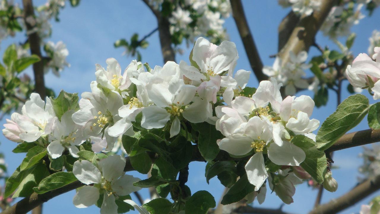 как цветет яблоня фото в хорошем качестве самостоятельно брали подносы