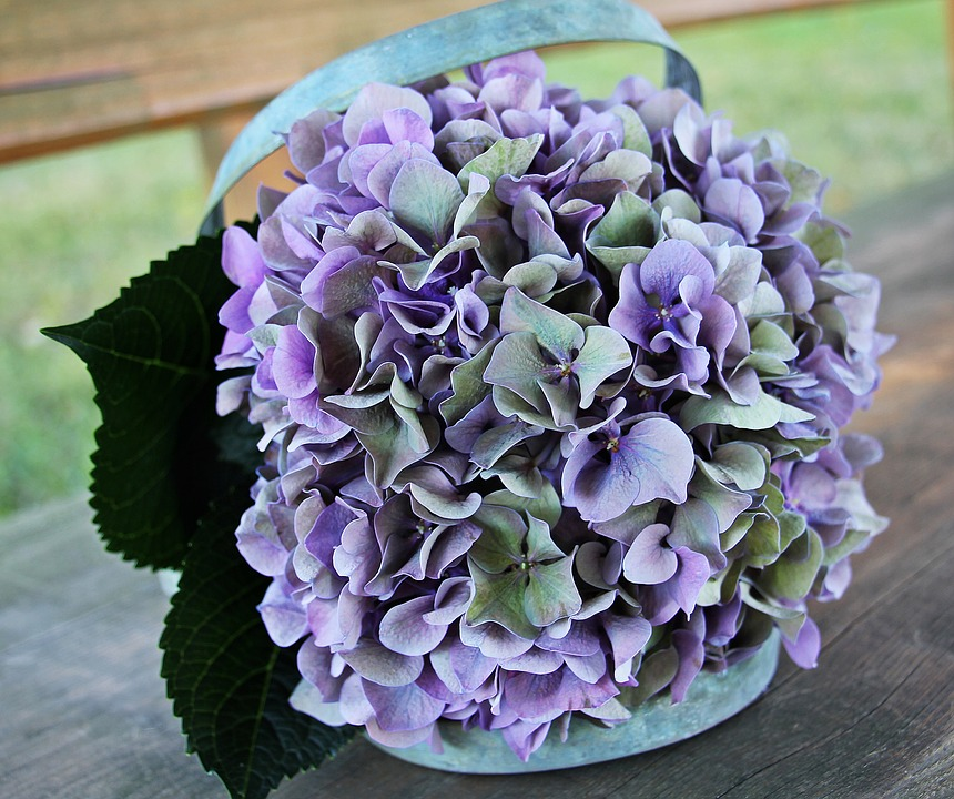 Hydrangea Images · Pixabay · Download Free Pictures