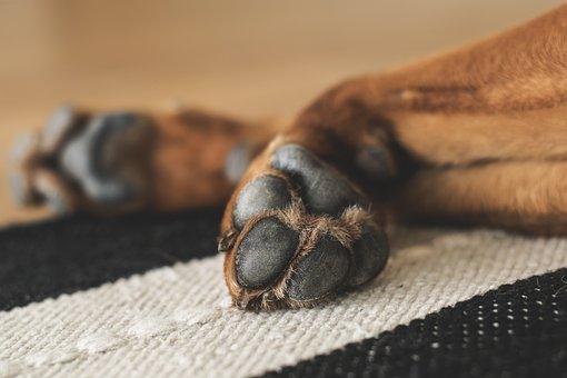 足, 犬, ペット, 犬足, 動物の足, 塞ぎます, 疲れた, かわいい, 甘い