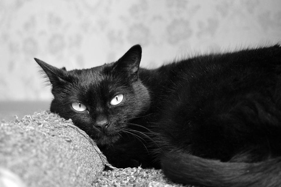 Veľká čierna mačička fotky