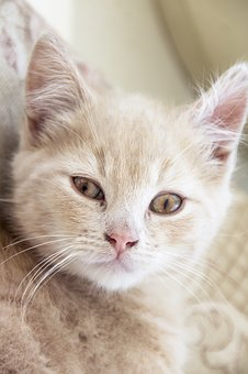 Cat, Kitten, Cute, Pet, Animal, Fur, Red