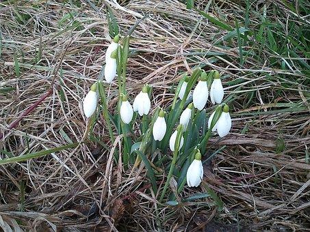 Bucaneve, Febbraio, Primavera