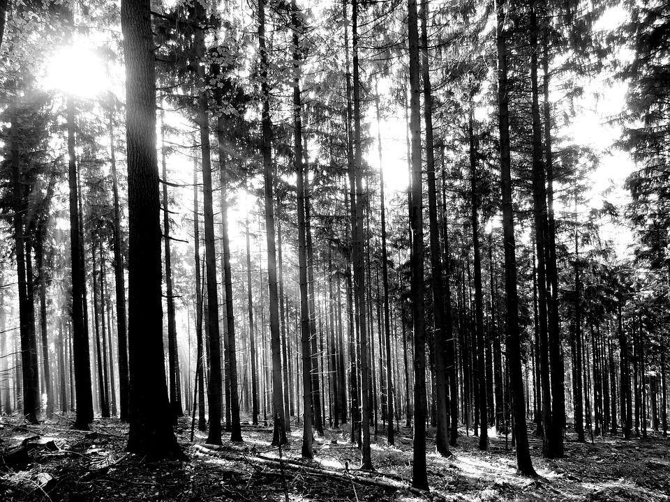 Forest trees sunlight black white