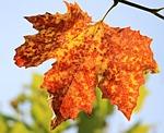 jesień, jesienny liść, liście