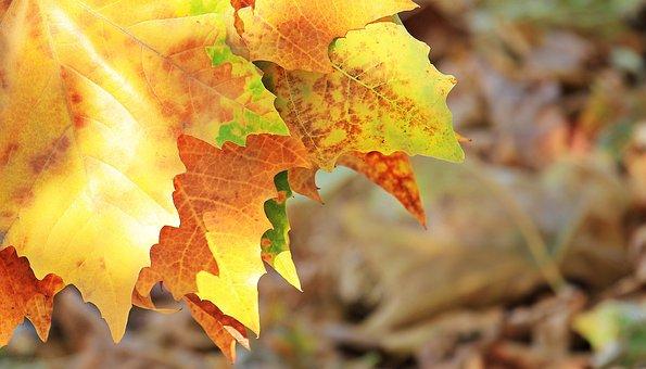 秋, 秋を葉します, 葉, 真の葉, 秋の色, 自然, 黄金の秋, カラフル