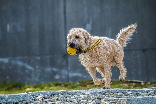 犬, 実行, ジャンプ, 再生, レース, 濡れた犬, ウェット, 動物, 楽勝