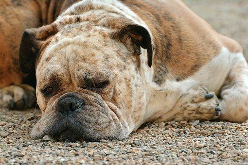 Perro, Boxer, Perro Boxer, Mascotas