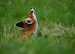 fox, animal, serfdom