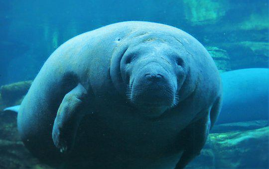 Manatees, Seaworld Orlando, Underwater