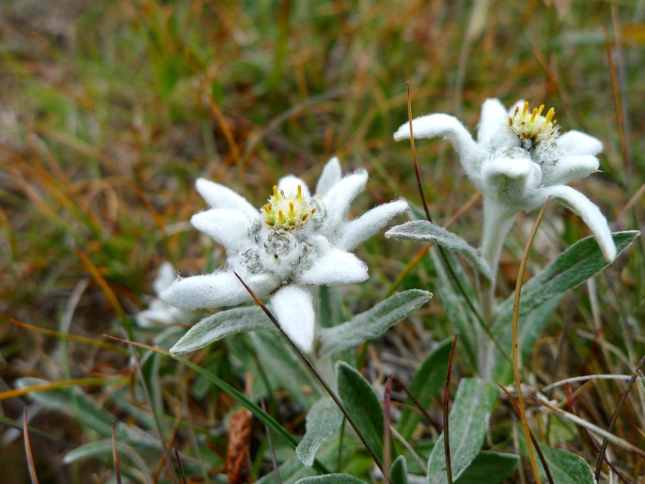 фотографии цветка эдельвейс