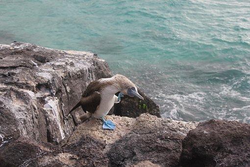 Piquero De Patas Azules, Sula Nebouxii
