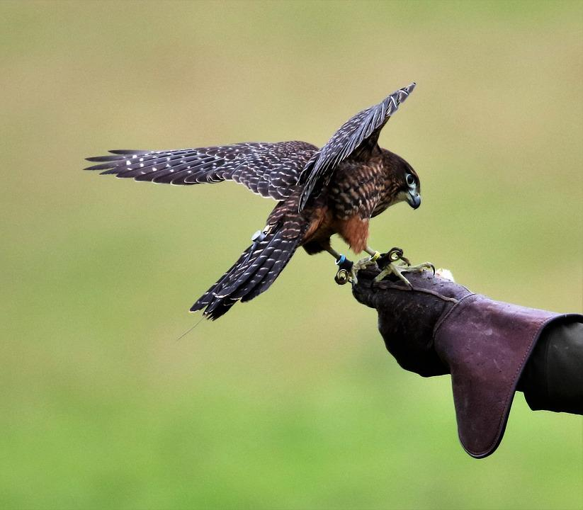 Sokola Nového Zélandu, Sokol, Pták
