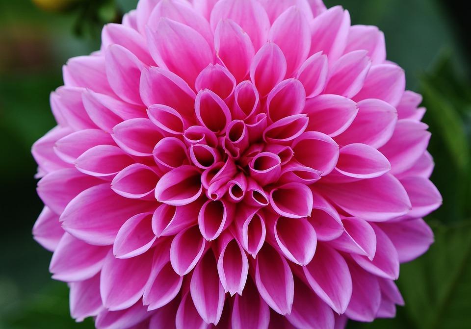 【色別】ダリアの花言葉|紫・白・赤・ピンク・青・オレンジ