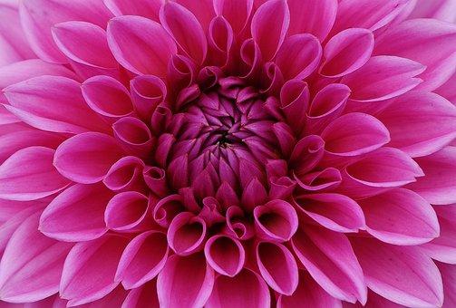 Jiřina, Květina, Lístků, Růžový Květ