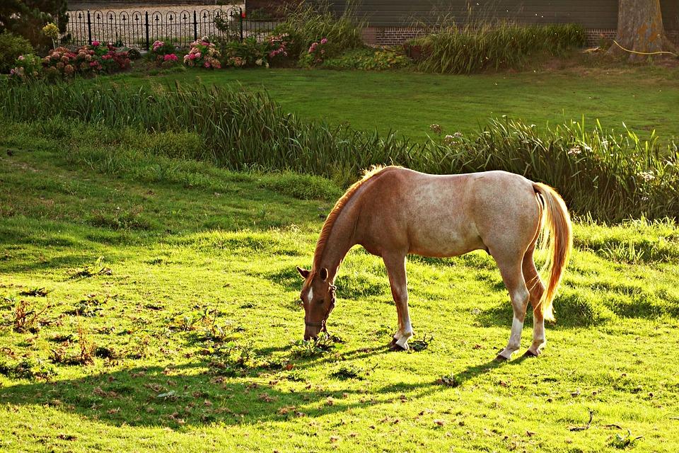 Horse, Animal, Mammal, Equine, Roan, Grazing, Garden