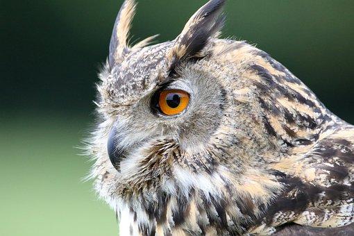 ユーラシアのワシフクロウ, フクロウ, ユーラシアの, 野生動物, 鳥, 獲物