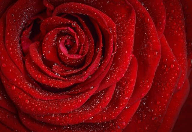 Rose Red Rosa · Free Photo On Pixabay