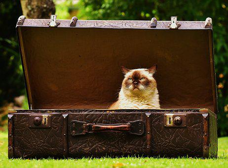 Luggage, Antique, Cat, British Shorthair