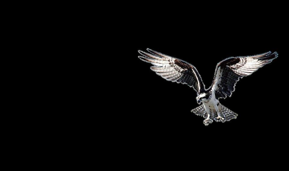 Águia pássaro falcão imagens grátis no pixabay