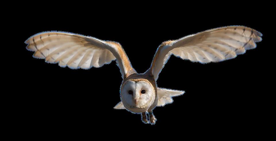 Free Illustration Owl Bird Nature Animal Eyes Free