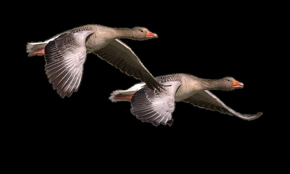 Crazy Goose