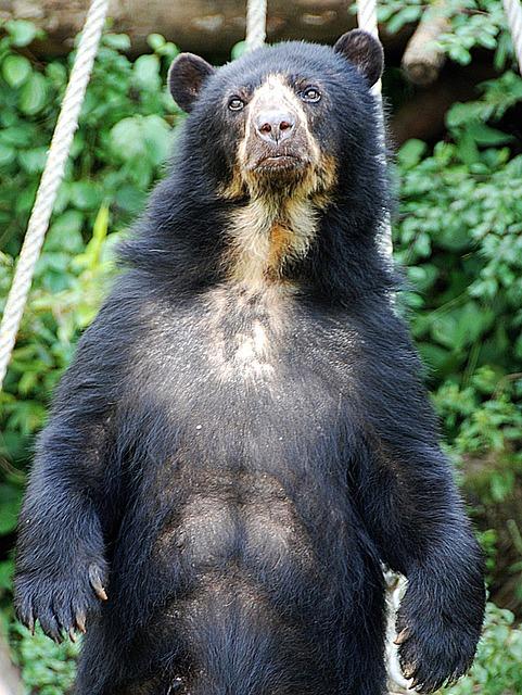 Free Photo Bear Spectacled Bear Zoo Free Image On