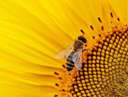 Sunflower, Bees, Summer, Garden, Blossom