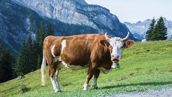 Cow, Meadow, Pasture, Mountains, Horns