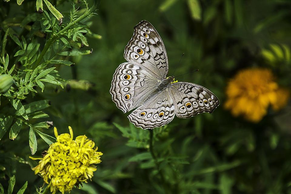 Pensée Grise, Papillon, Plantes, Ailes, Insectes
